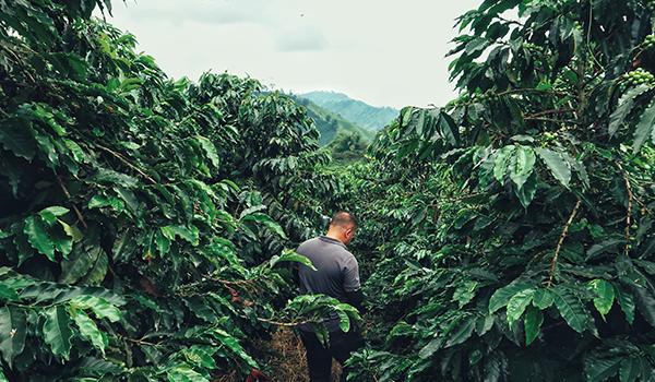 RondreisColombia-Koffieplantage