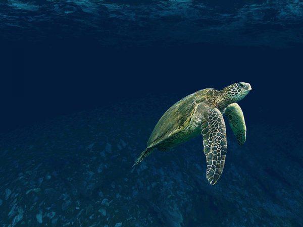 Belize-CayeCaulker-Schildpad