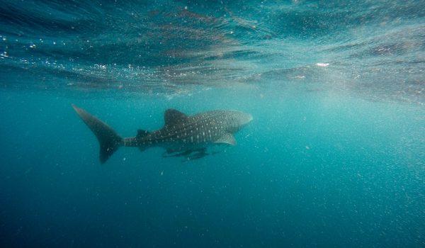 Spot walvishaaien tijdens je rondreis door Mexico